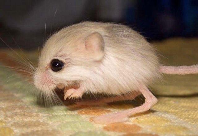 Рейтинг самых маленьких мышек